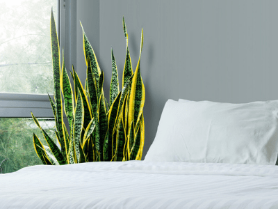 Watering Snake Plant Is Needed? How Often? Here Are Superb Facts About It! (2021)