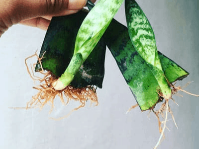 Can We Grow Roots From Dying Snake Plant? Here Are The Superb Facts How To Do It (2021)