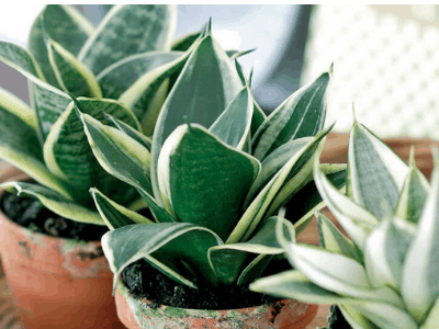 How To Replant Snake Plant? Here Are Super Guides About It! (2021)