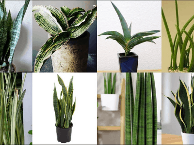 The Incredibly Stunning Sansevieria Whitney: Another Snake Plant To Add To Your Collection [2021]