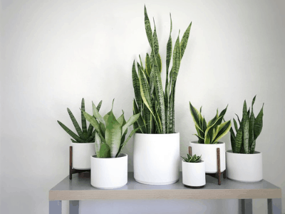 Snake Plant Care: The Ultimate Total Guide To Look After Your Snake Plant In 2021