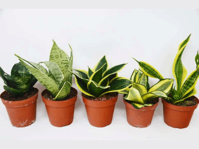 The Authoritative Snake Plant Care Guide: A Beginner's Handy Roadmap [2021]