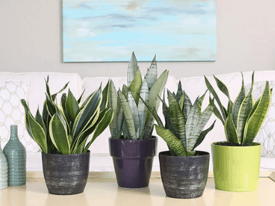 Snake Plant Likes Humidity? Here's The Super Fact About It! (2021)