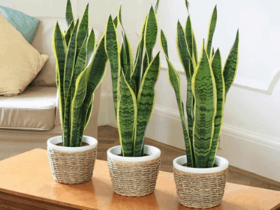 Snake Plant Produce Oxygen At Night!? Here Superb Amazing Fact About It! (2021)
