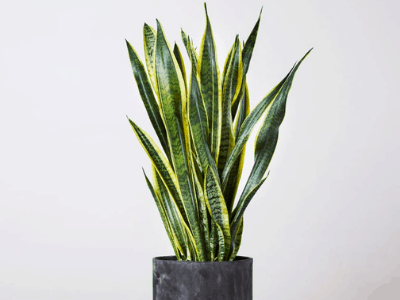Learn How To Take Care And Grow Your Snake Plant With This Ultimate Care Guide Of 2021!