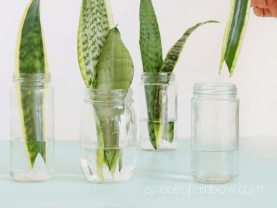 Snake Plant Propagation In Water: Your Best Awaited Guide In 2021
