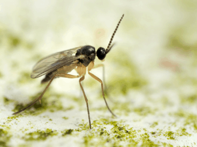 How To Get Rid Of Fungus Gnats From Your Attractive Plants? Here Are 8 Stellar Ways You May Have To Consider!