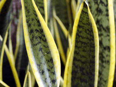 How Big Of Pot For Snake Plant? Here Are Superb Facts About It! (2021)