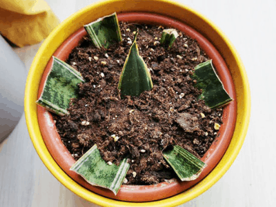 snake plant from seed