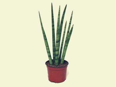 Know Alarming Signs Snake Plant Needs Higher Humidity! (2021)