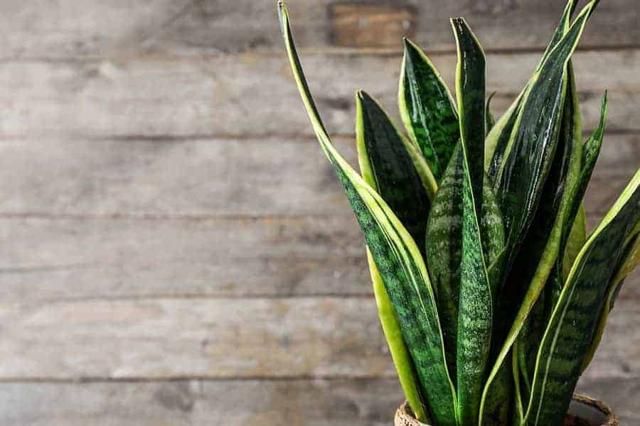 How To Heal Snake Plant Leaves? Superb Guides To Deal With It! (2021)