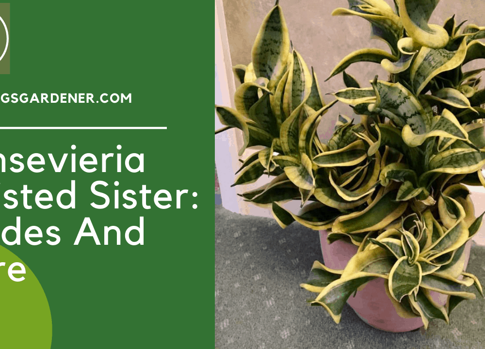 Sansevieria Twisted Sister, Superb Amazing Guides And Care Having This Plant (2021)