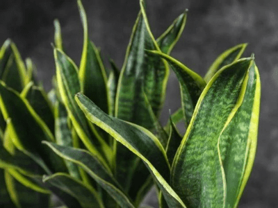 How To Take Care Snake Plant! Superb Guide For Beginners! (2021)