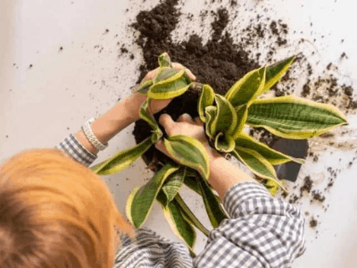 Save Dying Snake Plant?! Here's The Secret Way! (2021)