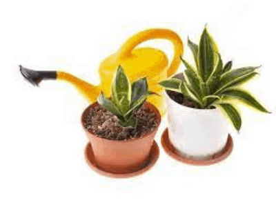 save dying snake plant