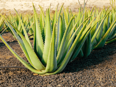 aloe vera and snake plant differences
