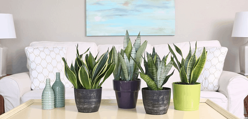 Pot Snake Plants In A Pot Without Holes? Look At The Superb Facts! (2021)