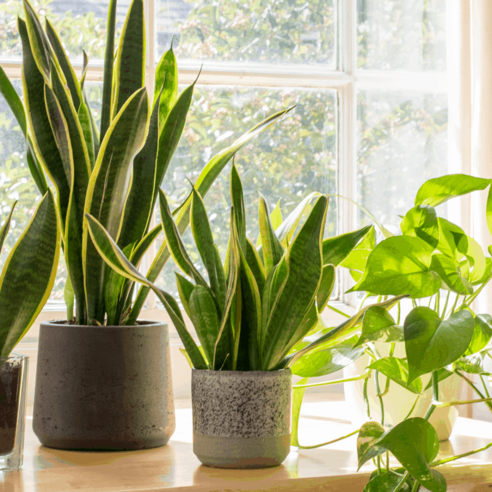 Look Here To Know The Best Pot For Snake Plants(2021)