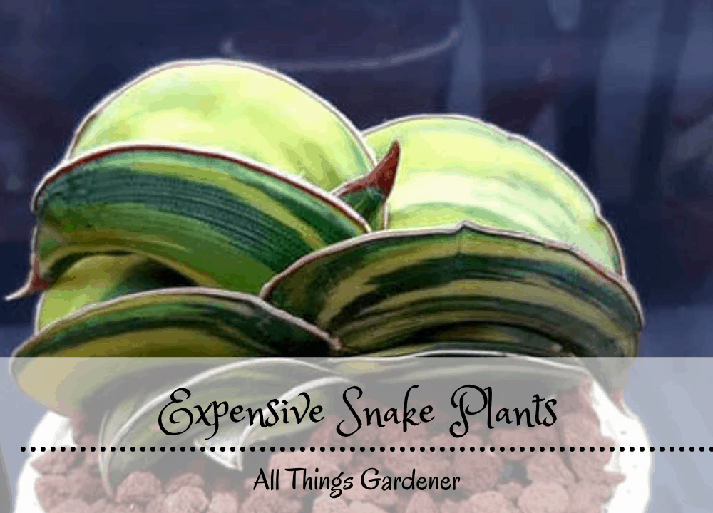 The Useful Snake Plant Can Be Expensive, How Come?(2021)