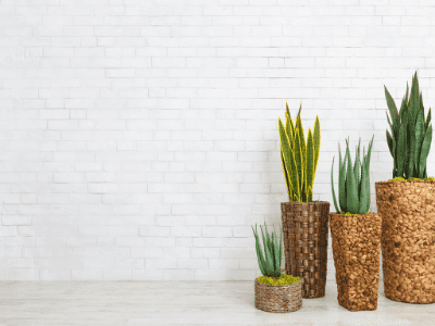 The Ultimate Guide to Growing Snake Plants From Seeds (2021)