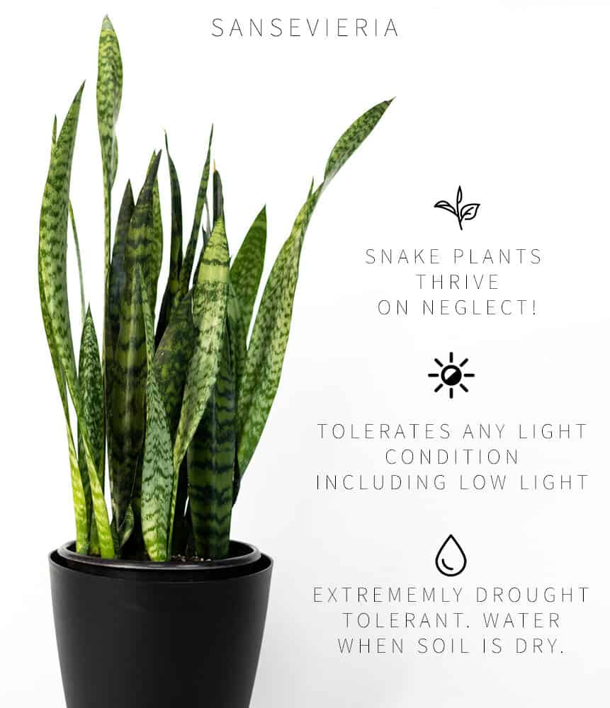 How To Fix A Wilting Snake Plant? Here Are Superb Guide To Do It! (2021)