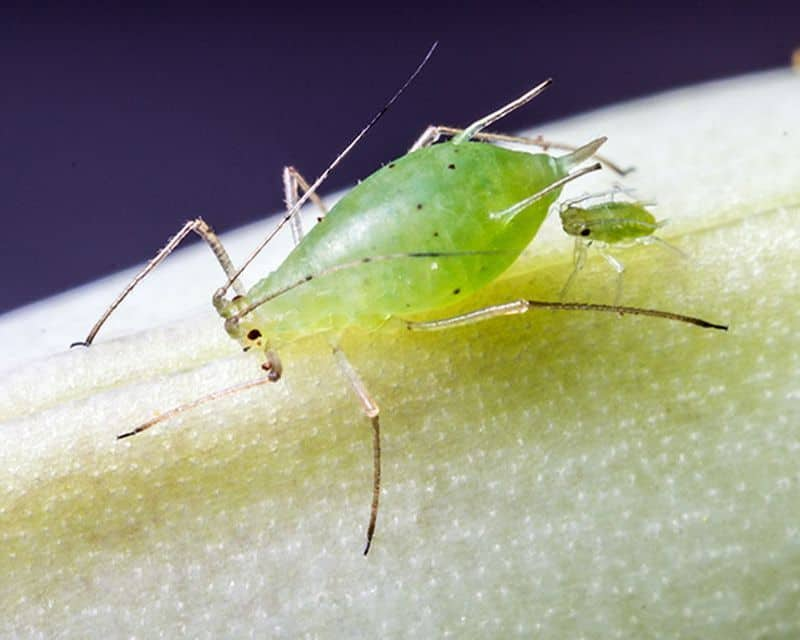 Make Your Own D.I.Y Organic Spray To Avoid Aphids! (2021)